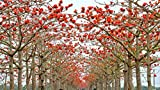 5 red cotton tree seeds Bombax ceiba Fast , showy Tree
