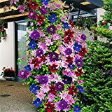 super1798 50Pcs Mixed Color Clematis Flower Seeds Garden Balcony Climbing Plants Seeds