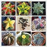 100% Real cactus seeds, Astrophytum ornatum rare succulent ,bonsai pot flower seeds, indoor plant for home garden - 10 pcs/pack