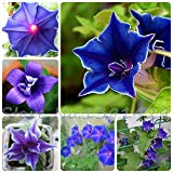 100 Morning Glory Seeds - Japanese Blue Morning Glory (Ipomoea Nil Blue- Seeds ) Dark blue with a purple star and a white edge Seeds
