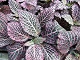 """Pink Veined Nerve Plant - Fittonia - Easy House Plant - 4"""" Pot"""