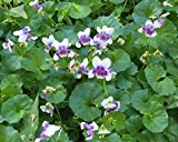 6 Live Viola Hederacea Plant - 6 Ground Cover Plants From Plugs