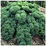 Earthcare Seeds Kale Blue Scotch Curled 500 Seeds - Non GMO - Heirloom - Open Pollinated