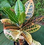Croton Codiaeum variegatum Petra live house plant