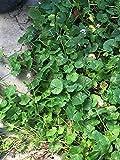 Violet Viola Flower Larger Leaf Plant Fragrant Perennial, Fairy Garden, Darling flowers, Australian violet, Viola Hederacea