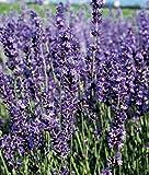 Lavender Provence (Lavender x Intermedia), 1 GAL