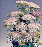 New MIX Throatwort(Trachelium Caeruleum) Nectar plants 50+ seeds - 7