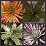 25 Seeds - Hechtia Special mix plants seeds~Colorful bromeliad cactus seeds Not Agave
