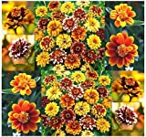 250 x Mexican Zinnia Seed - Persian Carpet Mix Zinnia Seeds - Bicolored Dahlia-Like Blooms - 60-70 Days