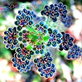 Loss Promotion! 100 seeds/pack succulents seeds Kalanchoe Thyrsiflora EXOTIC and RARE Xeriscaping mesembs succulents - Arcis New