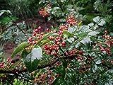 Organic Zanthoxylum Simulans 10 Seeds Szechuan Sichuan Pepper Herb Shrub