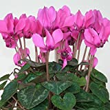 Cyclamen persicum Terry Roza Fon Zehlendorf F1 Flower Seeds indoor from Ukraine