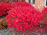Burning Bush Euonymus, 3 GAL