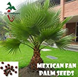 25 Mexican Fan Palm seeds, ( WASHINGTONIA ROBUSTA ) from Hand Picked Nursery