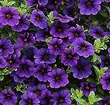 Calibrachoa Kabloom Deep BLUE - 10 Flowers Seeds - The first Calibrachoa from seed