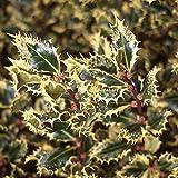 7 Year PLANT of Ilex Aquifolium Ferox Argentea