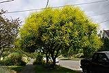 Koelreuteria paniculata | Golden Raintree | 10_Seeds