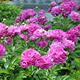 Potato001 10Pcs Paeonia Lactiflora Flower Seeds Chinese Herbaceous Peony Garden Home Plant