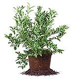 Perfect Plants no no no no, 1-2', Natural Organic