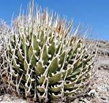 Rare Agave Utahensis var Eborispina seeds~Ivory spine agave plant 5 SEEDS