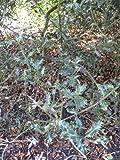 1 Starter Plant of Ilex Aquifolium 'Crassifolia' - Holly Tree
