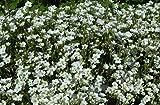 Arenaria Montana Choose 10 Rock Garden Plants