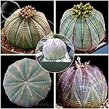ADB Inc 2016 New Euphorbia obesa Basketball Sea Urchin Seeds