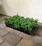 Blue Rug Juniper Qty 60 Live Plants Evergreen Ground Cover