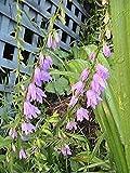 10 Rampion Bellflowe Seeds Campanula Rapunculoides