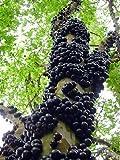 "Jabuticaba Fruit Tree Plant - 6"" Pot - Myrciaria -Tree That Fruits On It's Trunk"