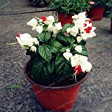 Seeds Shopp 100 PCS Clerodendrum Thomsonae Seeds Purple Double Petals Fuchsia Potted Flower Seeds Potted Plants Hanging Fuchsia Flowers