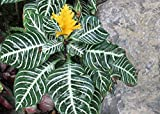Zebra plant used as a house plant.: Aphelandra squarrosa