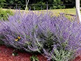 10 Russian Sage Seeds,butterflies,hummingbird,hardy, heat loving,Perennial