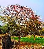 M-Tech Gardens Indian Bombax Ceiba Or Kopak Red Silk Cotton Tree 20 Seeds