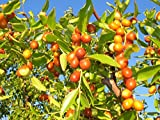 Ziziphus Mauritiana (Indian Jujube)100 Seeds,Ber,Chinese Apple,Indian plum,Masau