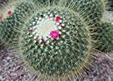 Mammillaria spinosissima known as spiny pincushion cactus .