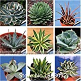 Promotion 100pcs 100% Genuine Rare Agave seeds, Plant tree seeds herbs flower seeds Succulent Plant Free Shipping Novel Seed