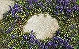 30 CARPET BUGLE Seeds, Ajuga Reptans, Groundcover Seeds .Shade loving Plant