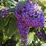 Heliotrope Garden 'Marine Blue' (Heliotropium Arborescens L.) Flower Plant Seeds, Annual Heirloom