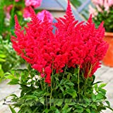 Hot Sale! Fireberry False Spiraea Red Astilbe Perennial Flower Seeds, Professional Pack, 100 Seeds / Pack, Cold Hardy, Heat Tolerant seeds on ice