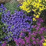 Outsidepride Aubrieta Rock Cress Cascade Blue Seeds - 1000 seeds