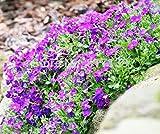 100pcs Aubrieta Seeds rare Rock Cress Flower seeds Diy plant bonsai Seed Perennial Plants For Home Garden sementes and rose gift Pink