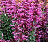 Agastache Mint Heather Queen Mexican Giant Hyssop Herb 1000 Seeds