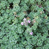 """Woolly Thyme - Size: 3.5"""" Pot - Live Potted Plants - Thymus pseudolanuginosus"""