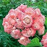 Geranium Flowers Seeds Perennial Bonsai Plants Seeds Pelargonium Graveolens potted for home and garden 30PCS 2