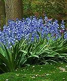 HYACINTHOIDES HISPANICA (10 Blue BULBS)A.K.A Wood Hyacinth or Spanish Bluebells