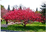 100 Seeds Flowering Almond, Flowering Plum Tree (Amygdalus triloba) , by Seeds and Farms
