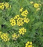 HEIRLOOM NON GMO Tansy 175 seeds (Medicinal)