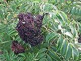 "Wyldewood Elderberry Perennial Shrub - Sambucus - Native - 3.25"" Pot"