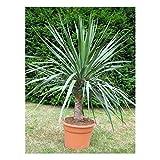 "Organic Flower seeds Dracaena ""Dragon-Tree"" (Dracaena draco). Plant indoor."